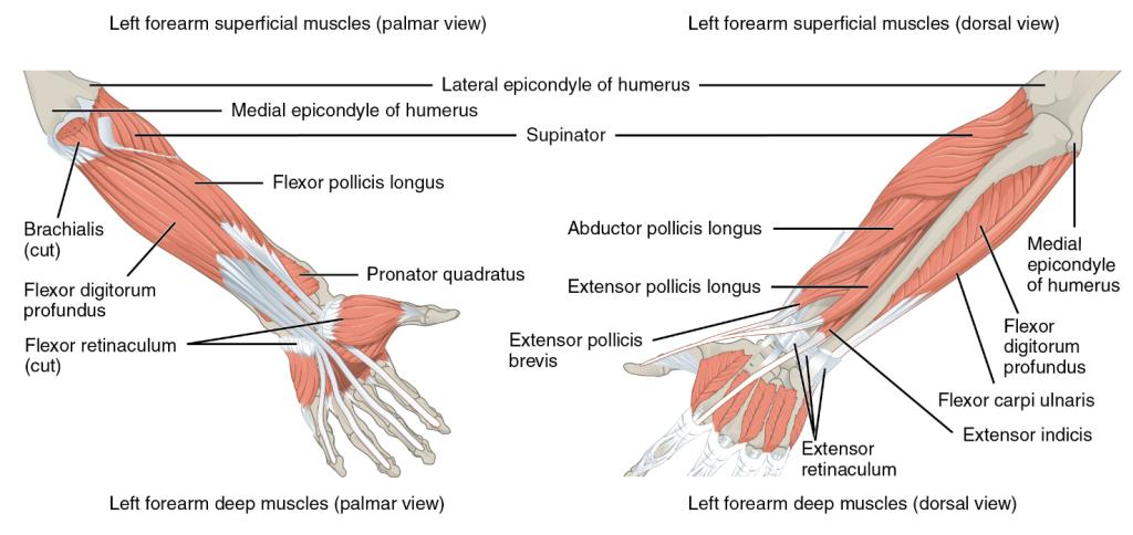 Ausgezeichnet Oberarmvenen Anatomie Bilder - Anatomie Von ...